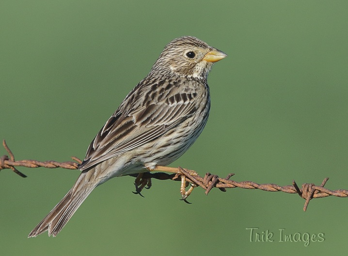 Uk Birds Buntings Pipits And Wagtails Wildlife Photography Trik Images