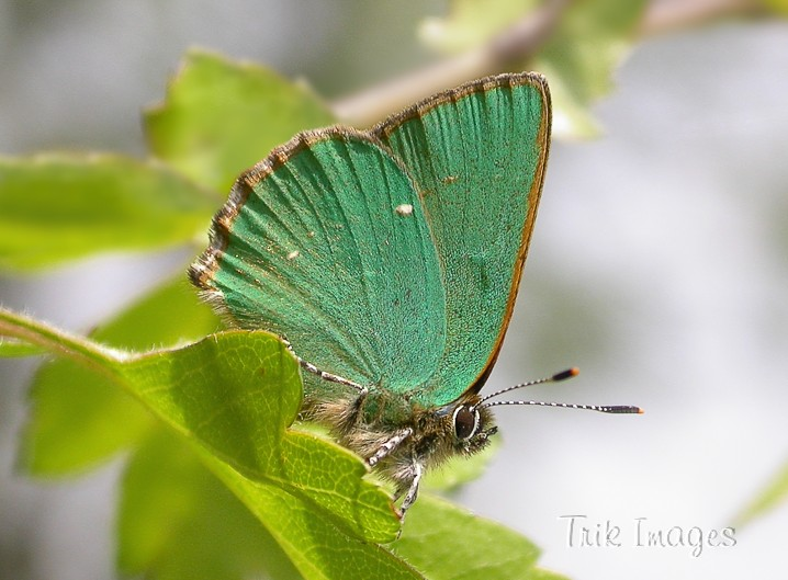 IMAGE: http://www.trikimages.co.uk/image/green%20hairstreak.jpg