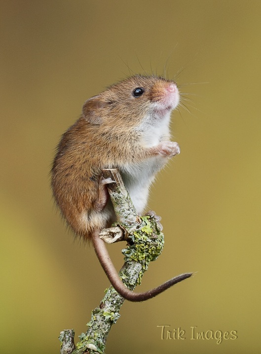 IMAGE: http://www.trikimages.co.uk/image/harvest%20mouse_0286.jpg