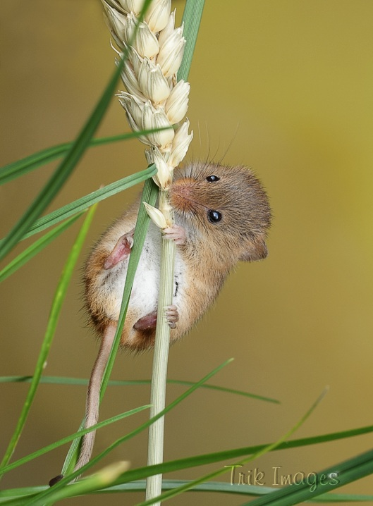 IMAGE: http://www.trikimages.co.uk/image/harvest%20mouse_0580.jpg