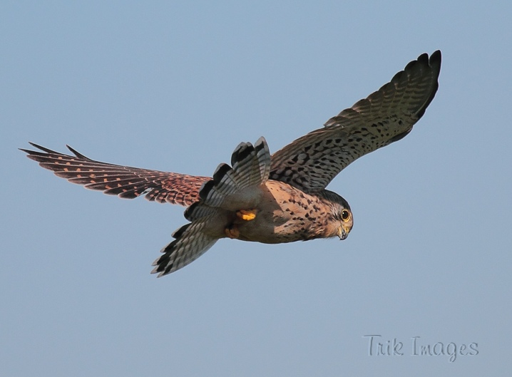 IMAGE: http://www.trikimages.co.uk/image/kestrel.jpg