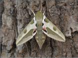 Spurge Hawkmoth (captive bred)