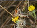 Saddle-back Bush Cricket