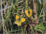 Clouded Yellows (female on left)