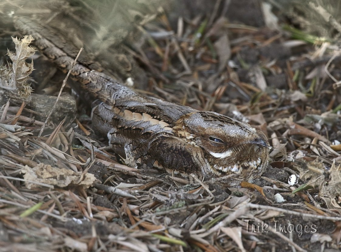 IMAGE: http://www.trikimages.co.uk/image/red-necked%20nightjar_4859.jpg
