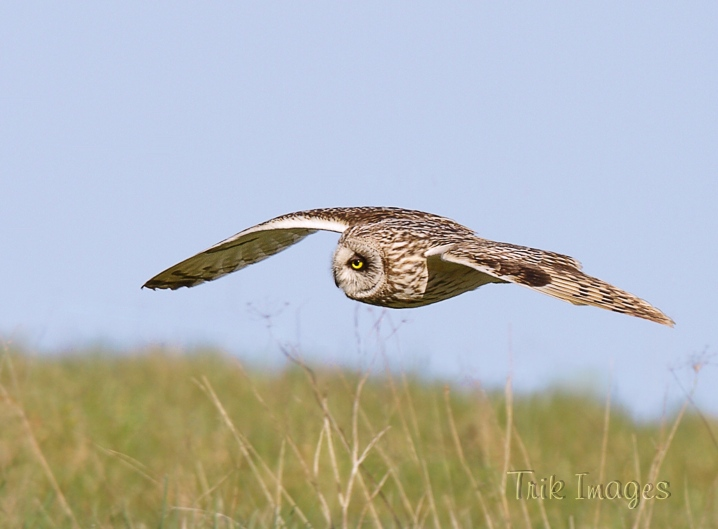 IMAGE: http://www.trikimages.co.uk/image/short-eared%20owl_2.jpg