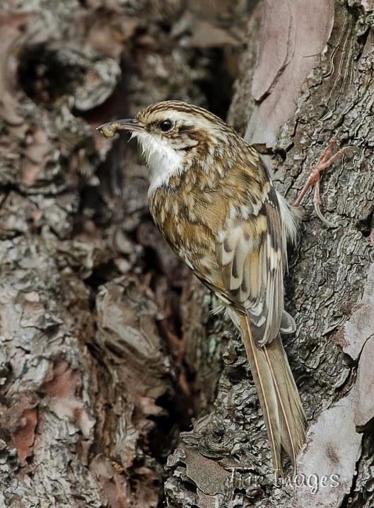 IMAGE: http://www.trikimages.co.uk/image/treecreeper.jpg